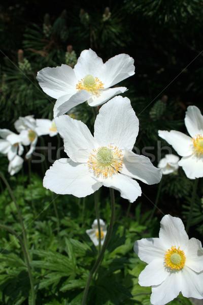 white flower in the garden Stock photo © Hochwander