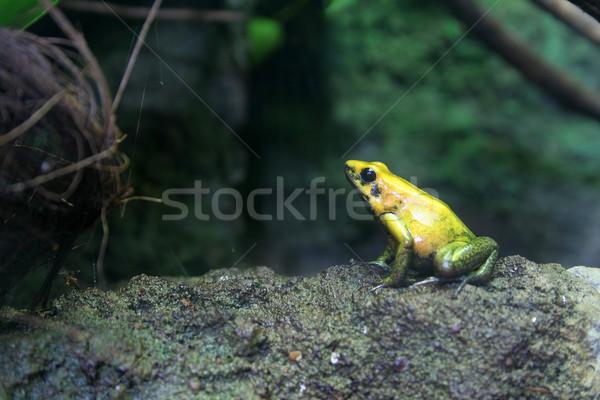 Citromsárga béka kék trópusi állat nyíl Stock fotó © Hochwander