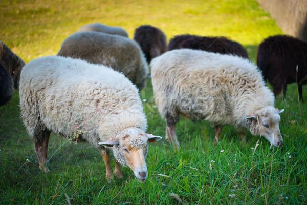 çim doğa çiftlik koyun beyaz Stok fotoğraf © Hochwander