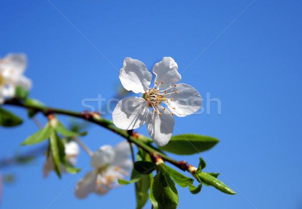 Fiore bianco cielo blu foglia frutta colore impianto Foto d'archivio © Hochwander