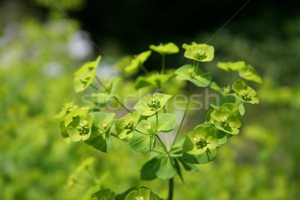 Verde jardín de flores jardín color planta semillas Foto stock © Hochwander