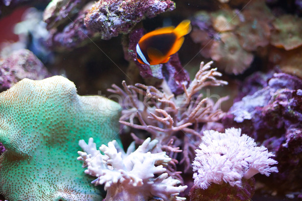 tropical world -  Cinnamon Clownfish Stock photo © Hochwander