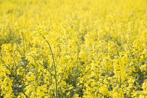 Amarillo violación campo primavera fondo Foto stock © Hochwander