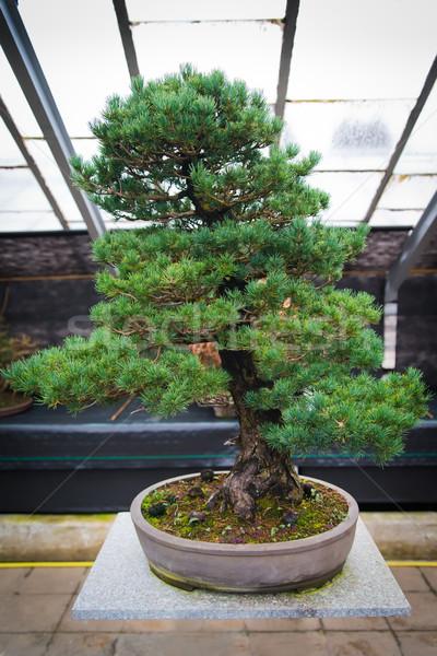 Bonsai tree pinus parviflora - Kokonoe Stock photo © Hochwander