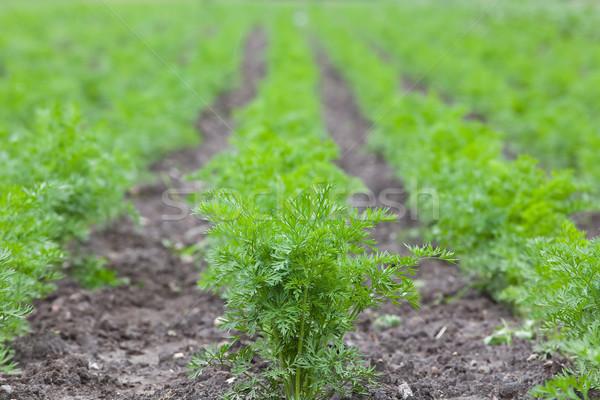健康 生態学的な 農園 ニンジン 浅い ストックフォト © Hochwander