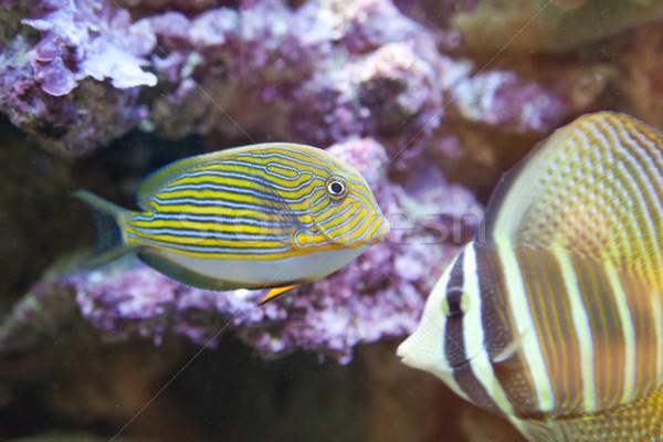 Tropikal dünya tropikal balık güzellik okyanus sualtı Stok fotoğraf © Hochwander