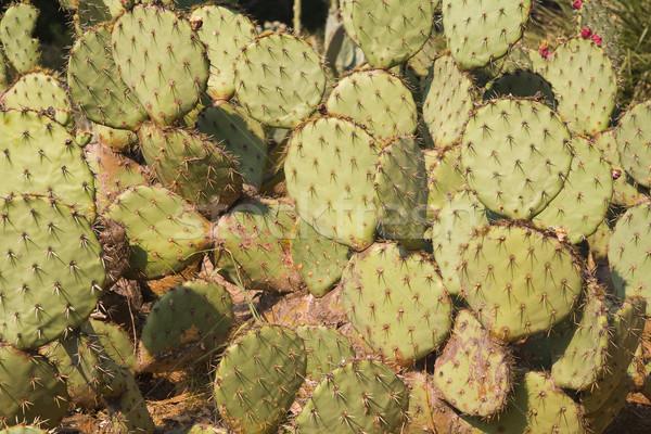 Cactus parfait fleur nature vert soins Photo stock © Hochwander