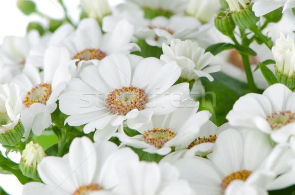 Foto stock: Hermosa · crisantemo · flores · primavera · naturaleza · verano