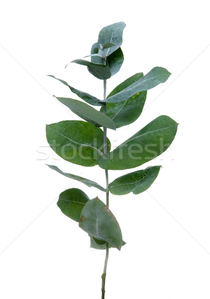 Eucalyptus leaves Stock photo © homydesign