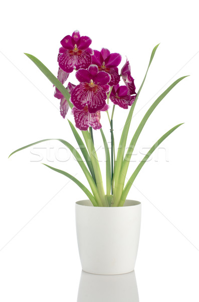 Stock photo: Pansy Orchid - Miltonia Lawless Falls