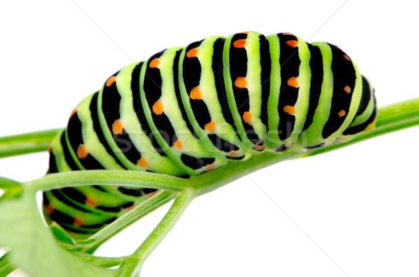 Swallowtail caterpillar Stock photo © homydesign