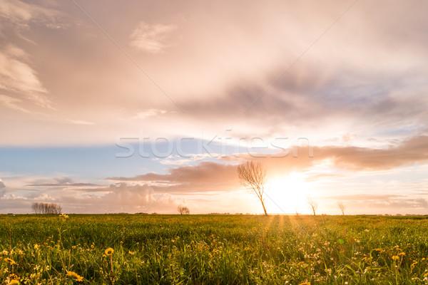 Panoramic view of a flowering  yellow daisy flowers Stock photo © homydesign