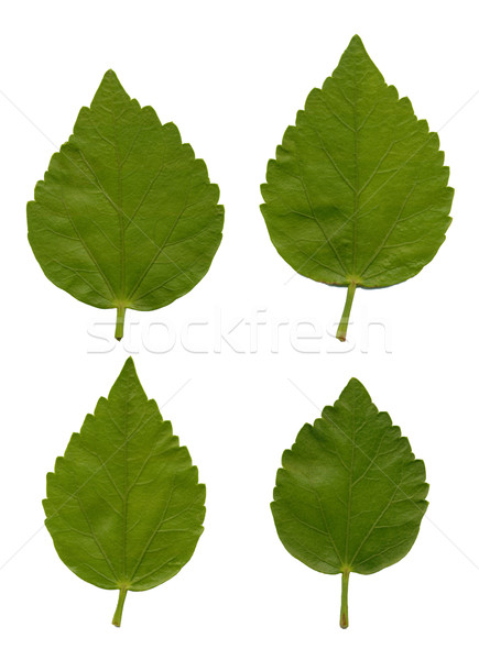 Leaves of Hibiscus Stock photo © homydesign