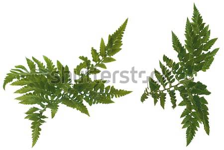 Fern leafs Stock photo © homydesign