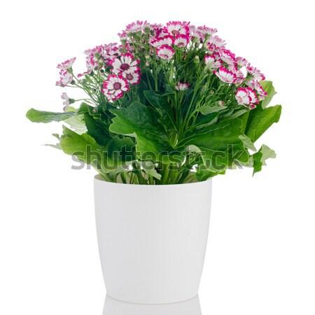 Belo roxo prímula flores branco vaso Foto stock © homydesign
