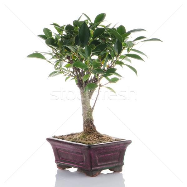 Stockfoto: Chinese · groene · bonsai · boom · geïsoleerd · witte