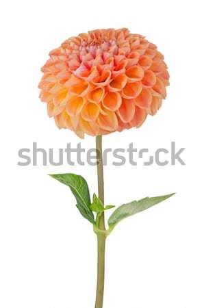 Orange dahlia fleur belle isolé blanche Photo stock © homydesign