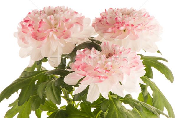 Mooie chrysant bloemen witte bloem voorjaar Stockfoto © homydesign