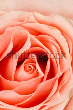 Orange rose flower Stock photo © homydesign