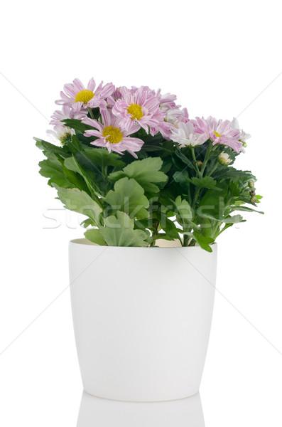 Güzel krizantem çiçekler saksı beyaz bahar Stok fotoğraf © homydesign