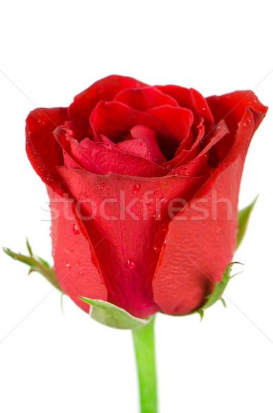 Beatiful red rose Stock photo © homydesign