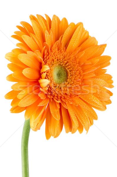 ストックフォト: オレンジ · デイジーチェーン · 花 · 孤立した · 白 · 赤