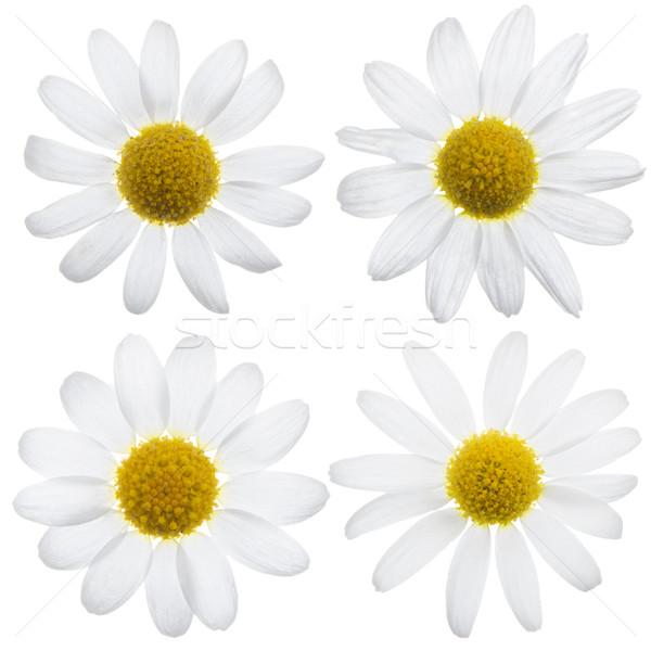 Daisy fleurs belle blanche isolé fleur Photo stock © homydesign