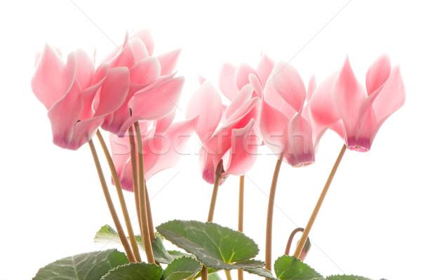 Сток-фото: красивой · розовый · цветок · белый · природы · лет