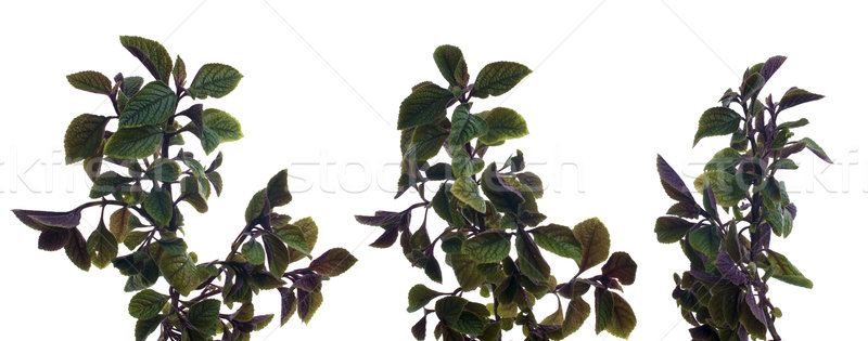 Branch of green leafs Stock photo © homydesign