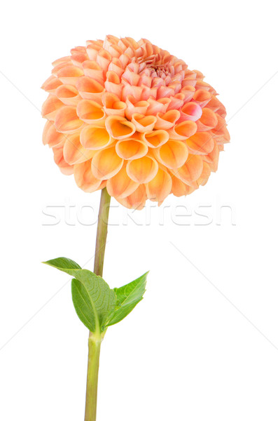Stock photo: Orange dahlia flower