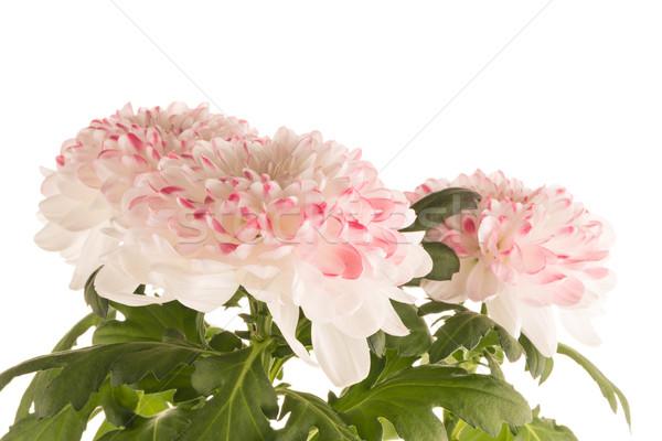 Güzel krizantem çiçekler beyaz çiçek bahar Stok fotoğraf © homydesign