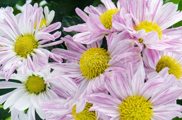 Mooie chrysant bloemen bloem voorjaar natuur Stockfoto © homydesign