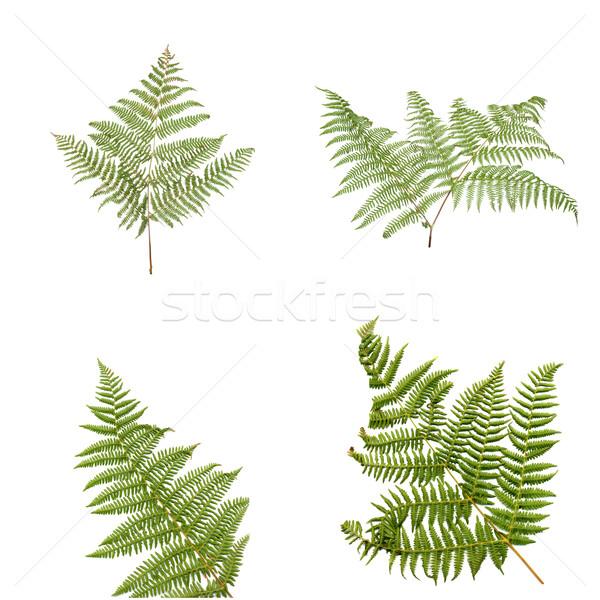 Fern leaves Stock photo © homydesign