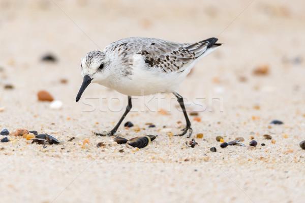 Küçük martı plaj kumu arama gıda doğa Stok fotoğraf © homydesign