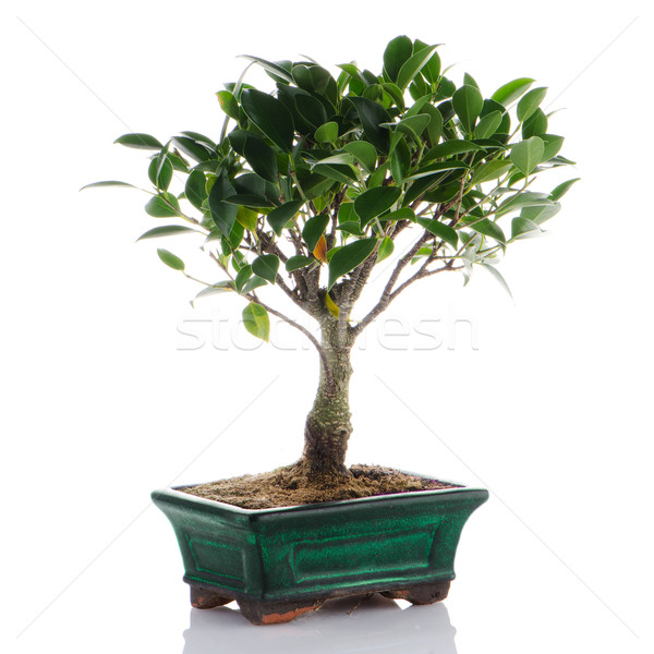 Chinese green bonsai tree Stock photo © homydesign