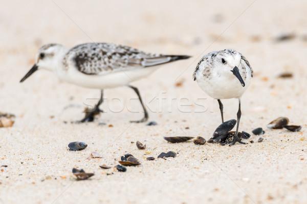 Kicsi sirályok tengerparti homok keres étel természet Stock fotó © homydesign