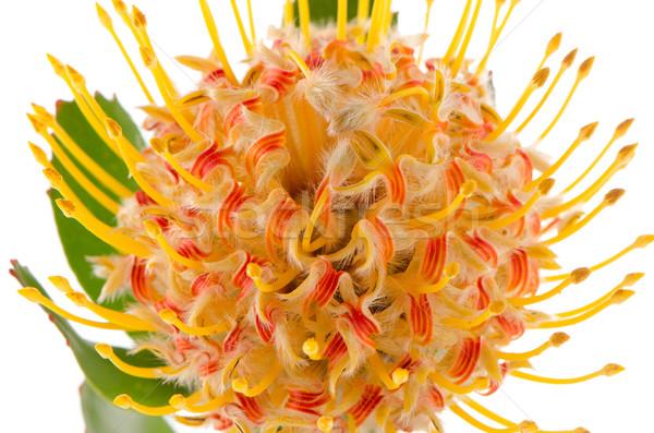 Pincushion Protea Stock photo © homydesign