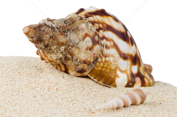 Conch sea shell  Stock photo © homydesign