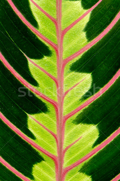 Groen blad Rood aderen voorjaar licht Stockfoto © homydesign