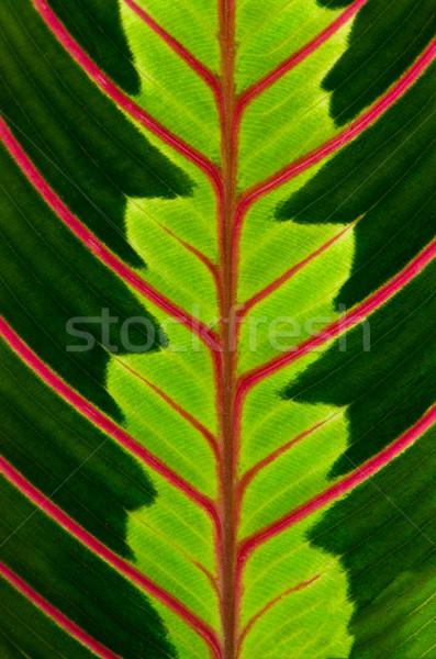 Yeşil yaprak kırmızı damarlar bahar ışık Stok fotoğraf © homydesign