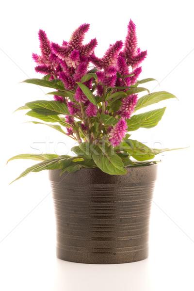 Cockscomb celosia spicata plant Stock photo © homydesign
