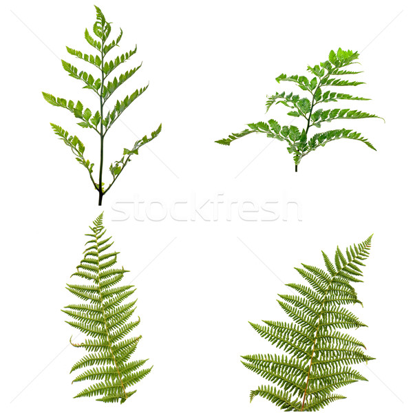 Varen bladeren geïsoleerd witte textuur boom Stockfoto © homydesign