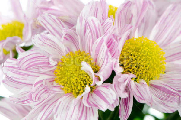 Belle chrysanthème fleurs fleur printemps nature Photo stock © homydesign