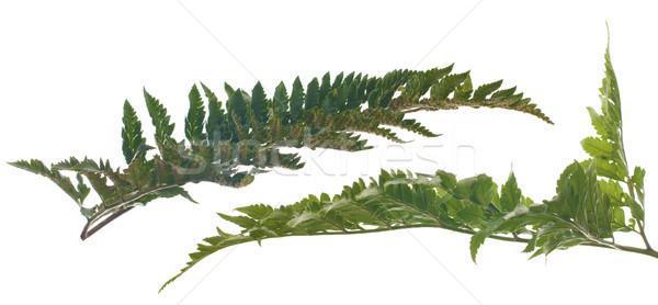 Fern leafs Stock photo © homydesign