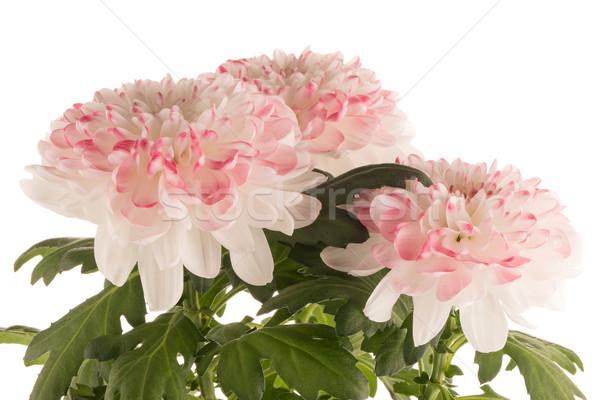 Piękna chryzantema kwiaty biały kwiat wiosną Zdjęcia stock © homydesign