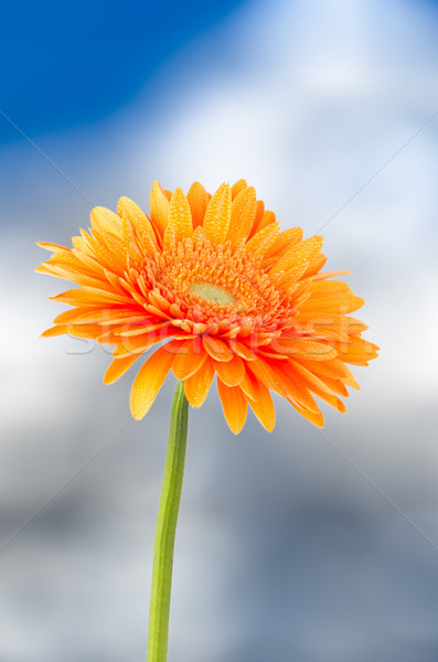 Photo stock: Orange · Daisy · fleur · ciel · bleu · nature · beauté