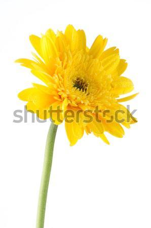 Yellow gerbera daisy flower Stock photo © homydesign