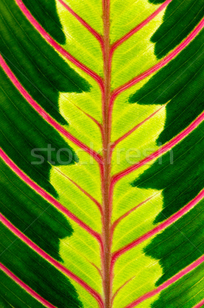 Green leaf with red veins Stock photo © homydesign