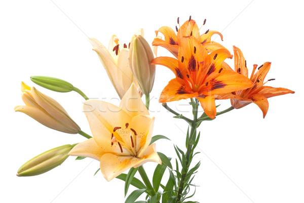 Colorful fresh lillies Stock photo © homydesign