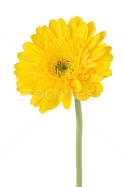 Yellow gerbera daisy flower Stock photo © homydesign